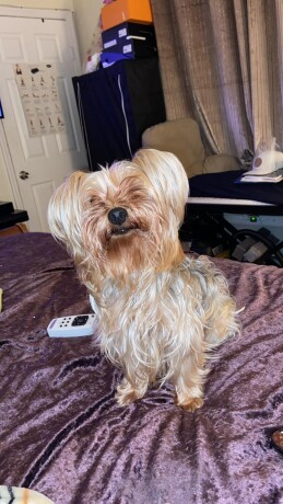 3-year-old-toy-yorkie-terrier-big-1
