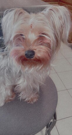 3-year-old-toy-yorkie-terrier-big-0
