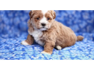 FULL BREED SHIH TZU PUPPY