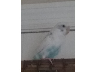 2 Blue Males And 1 White Female (Budgies)