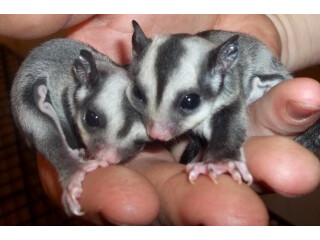 Sugar gliders ready for a new home