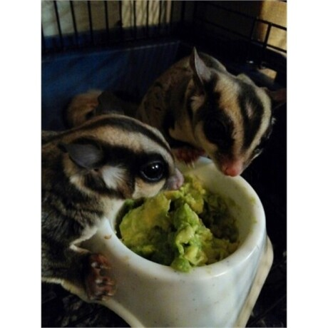 sugar-gliders-ready-for-a-new-home-big-1