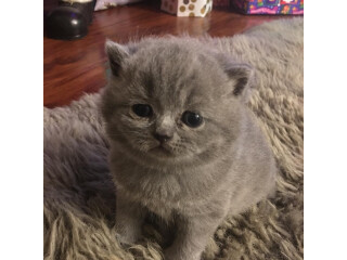 Very loving and playful British Shorthair kittens available