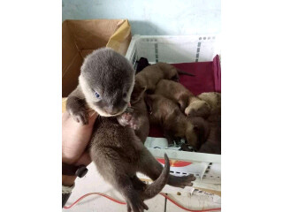 Otters for sale