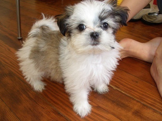 Lovely Shih Tzu puppies for Adoption.