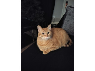 Giving up a Tabby cat to good home
