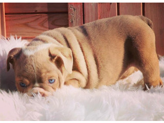 A CUTE AND BEAUTIFUL ENGLISH BULLDOG PUPPY FOR REHOMING