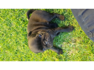 Lovely Male and Female pug puppies Available for sale