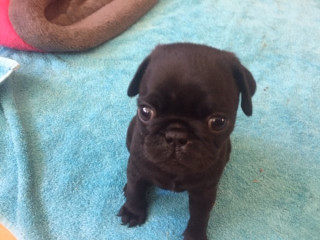 Home Trained Male and Female pug puppies for sale