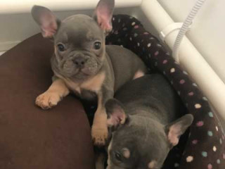Blue And Tan Quad french bulldog puppies