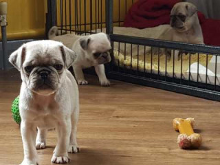 Gorgeous Litter Of Kc Reg Pug Puppies Ready Now!