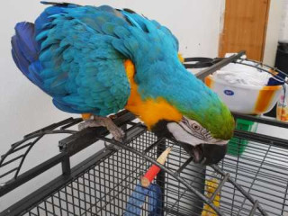 Blue and Gold Macaw With Cage