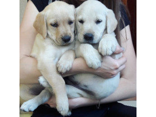 Cute Labrador Retriever Male and Female Puppies For Sale