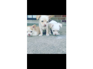 MALCHI PUPPIES