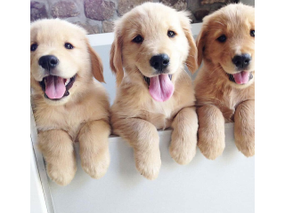 Cute and lovely Labrador puppies available for sale