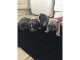 Cute and lovely french bulldog puppies available for sale