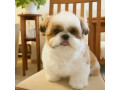 lovely-and-adorable-shitzus-for-sale-small-1