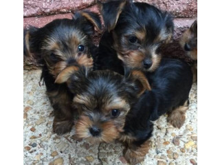 Good looking Yorkie puppy for Re homing