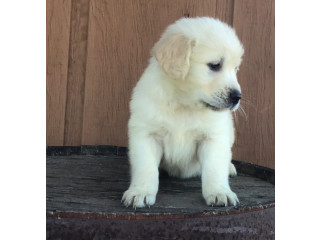 Free Golden Retriever puppies