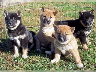 Good and lovely Shiba Inu puppies