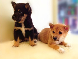 Stunning Shiba Inu puppies ready for adoption