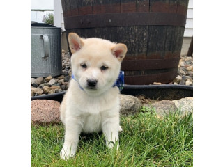 Shiba inu puppies looking for thier new and lovely home
