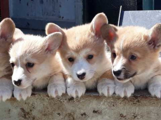 Sweet male and female Welsh Pembroke Corgi Puppies For Sale