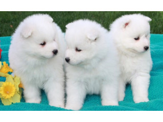 Samoyed Male and Female Pups (fully House Trained) ready for new home