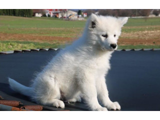 Sweet Samoyed baby Cute ready for you