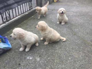 Amazin Golden Retriever Puppies for adoption