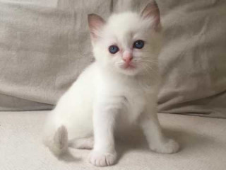 Wonderful Pedigree Ragdolls Gccf Registered