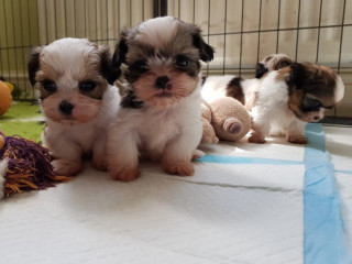 Healthy shih tzu puppies to go for any loving and caring home.