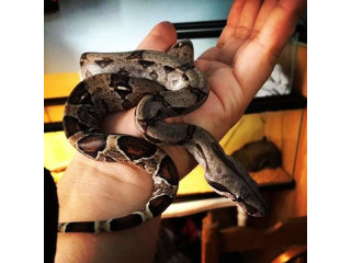 Colombian red tail boa mix with Peruvian long tail