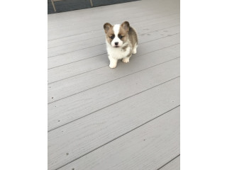 Cute Corgi pups for adoption
