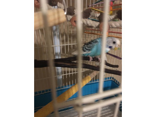 1 1/2 year old blue and white parakeet well taken care of looking for a new home!!!