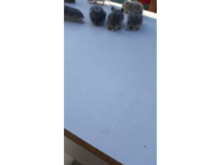 Baby Dwarf hamsters for sale.
