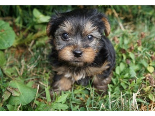 I bought my Yorkie Puppy from here back in janurary.