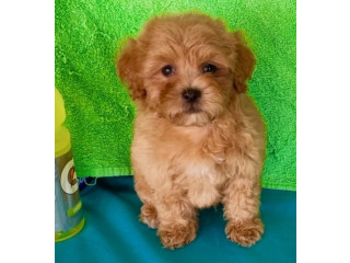 $200 each Two Playful Maltipoo Puppies For Sale!!!