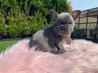 Lovely blue eyes frenchies available