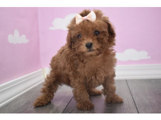HOME RAISED TOY POODLE PUPPIES AVAILABLE...!! (419) 777-4855