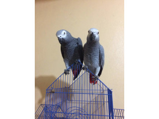 Rehoming our 2yr and 3yr old DNA tested male grey bird