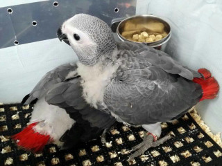 Congo African Grey Parrot For Adoption whats-app only @:+971559806748.