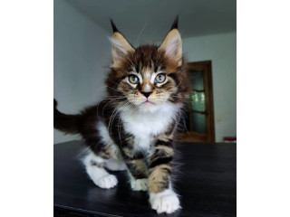 Maine coon kittens available for new homes