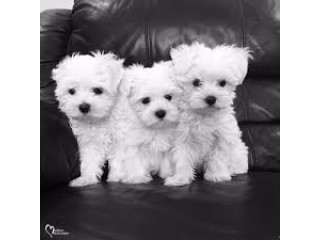 Male and female delighted Maltese puppies