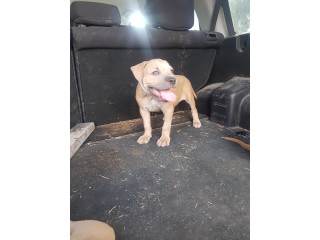 FULL BREED AMERICAN BULLY PUPPIES