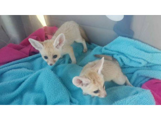 MALE AND FEMALE FENNEC FOX SEARCHING FOR A NEW HOME ‪(601) 675-2405‬