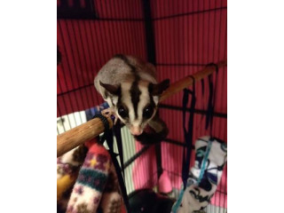 MALE AND FEMALE BONDED SUGAR GLIDERS (419) 777-4855