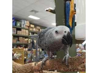 AFRICAN GREY PARROT (601) 675-2405