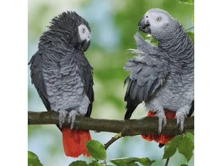 Beautiful parrots for sale contact whats app or direct text +15123870638 for