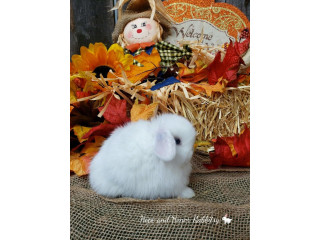Pedigreed Holland Lop